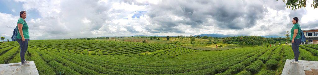 Qué ver en Chiang Rai: una plantación de té