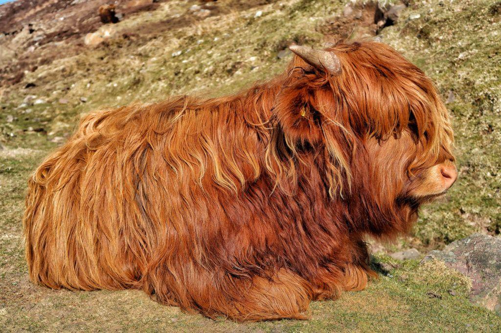 Guía de Escocia: vaquita escocesa