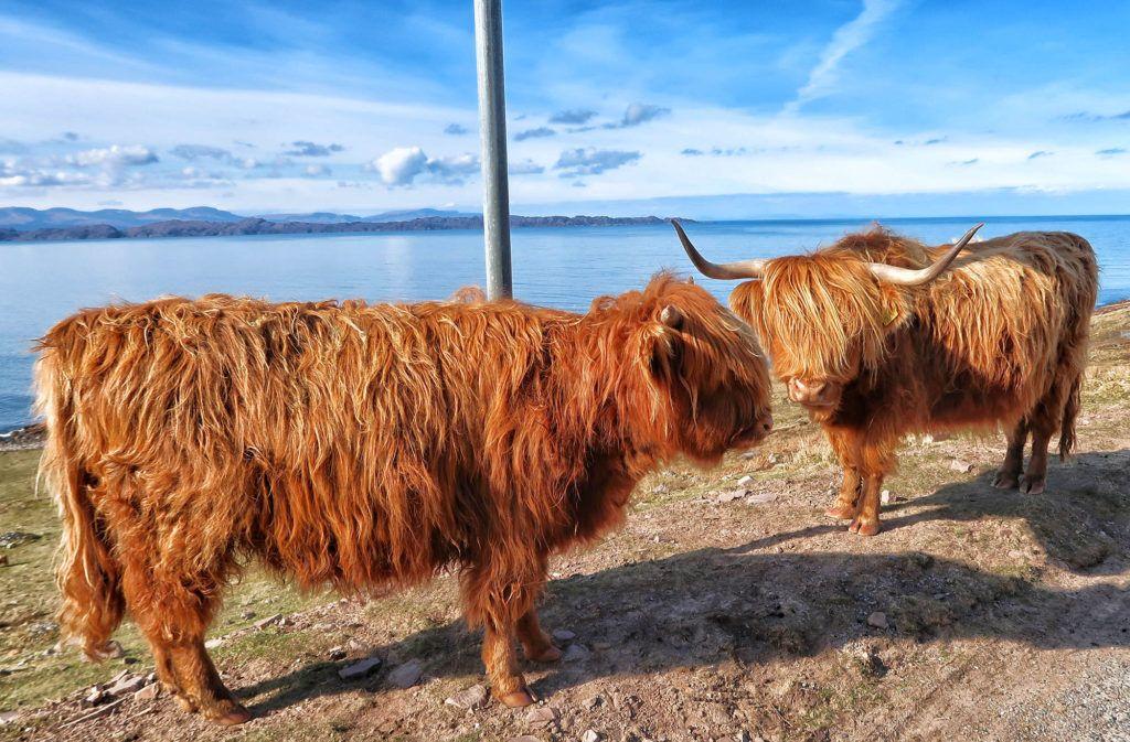Ruta por Escocia en coche: vaquitas peludas en Fearnmore