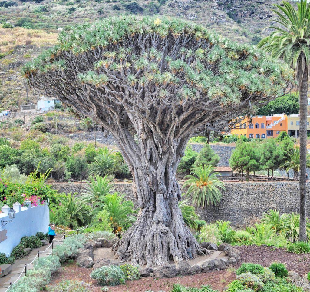 Tenerife en una semana: Drago Milenario