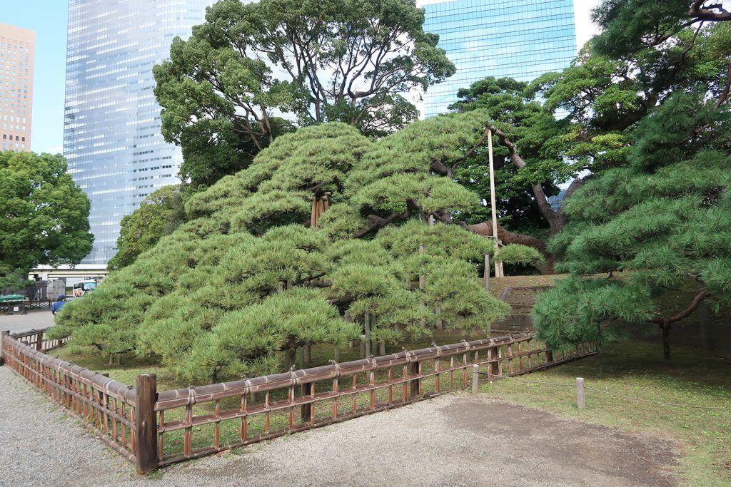 Qué ver y hacer en Chuo: Pino de 300 años en Hamarikyu Gardens
