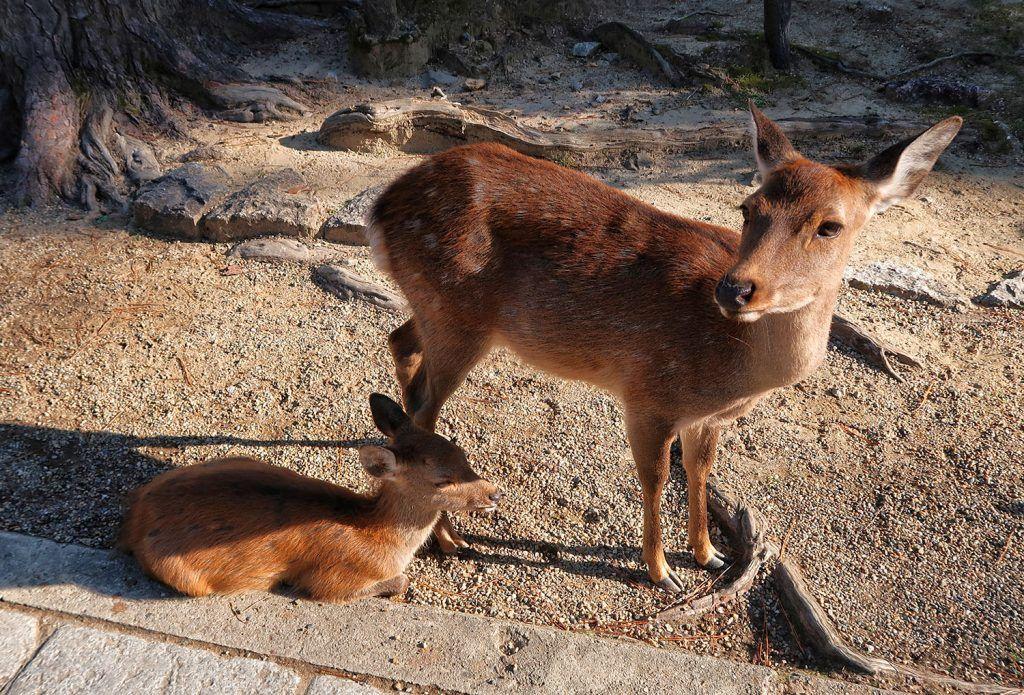 Qué ver en Nara: ciervos en Nara cosas que tienes que hacer si vas a Japón