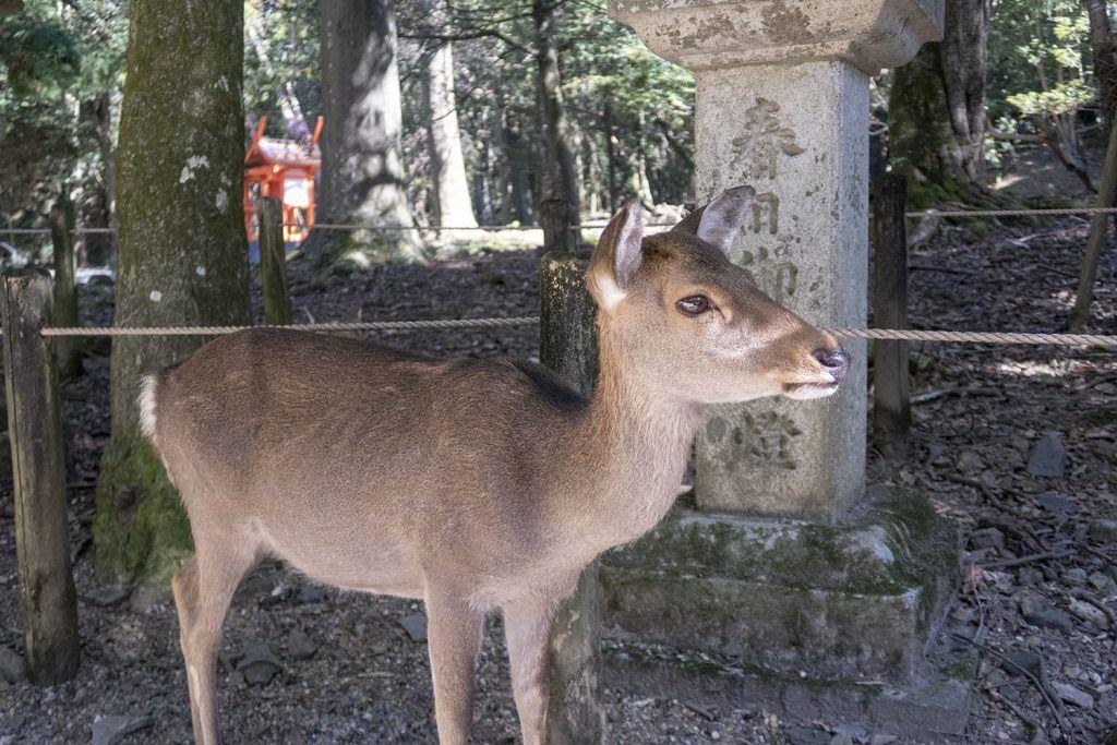 Qué ver en Nara: ciervos en Nara