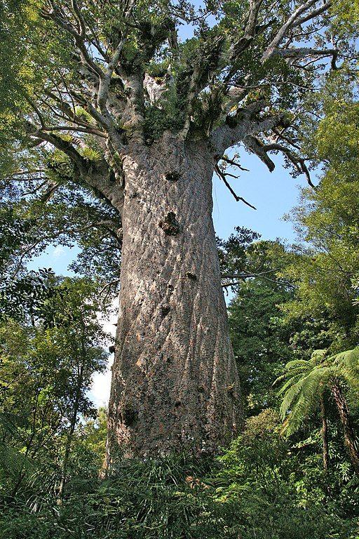 Etapa 20 por NZ en la península de Coromandel: Kauri