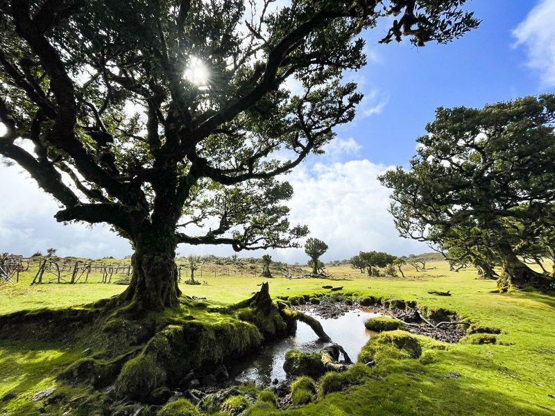 Qué ver en Madeira: bosque de Fanal